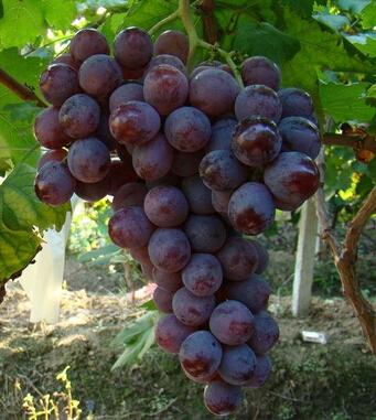 坐月子可以吃什么水果-葡萄.jpg